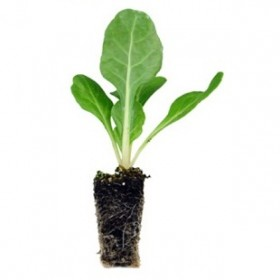 Plantel de Lechuga Baby
