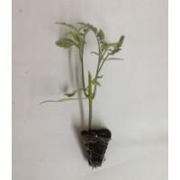 Plantel de Tomate de Antivirus Cortado