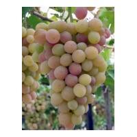 Planta de Uva de mesa Dominga