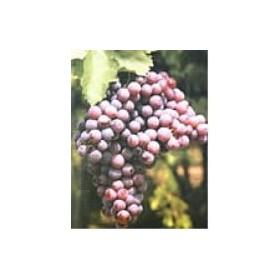 Planta de Uva de mesa Perlón