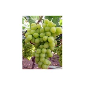 Planta de Uva de mesa Superior Sin Pepitas