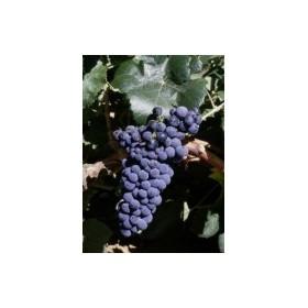 Planta Viníferas Bobal