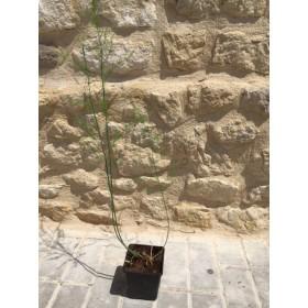 Planta de Espárragos