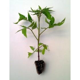 Plantel de Tomate Negro