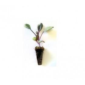 Plantel de Col Lombarda