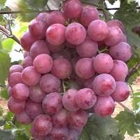 Planta de Uva de la Variedad Red Globe