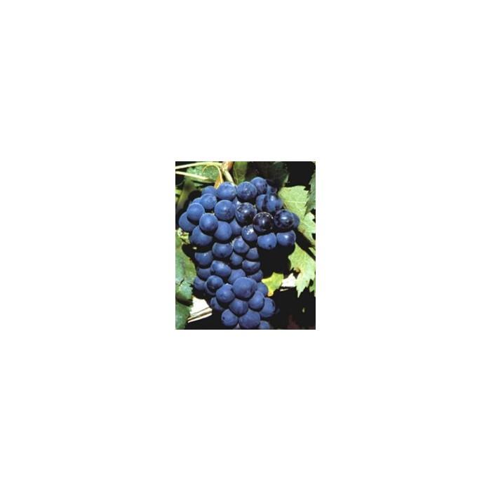Planta de uva de mesa de la variedad alfonso lavallee agrojard n sala sl - Variedades de uva de mesa ...