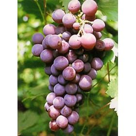 Parra para uva de mesa de la variedad cardinal agrojard n sala sl - Variedades de uva de mesa ...