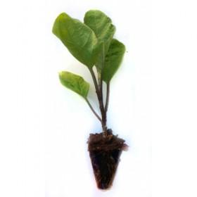 Plantel de Berenjena Blanca