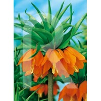 Bulbo de Fritillaria