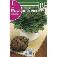 Bulbo de Rosa de Jerico