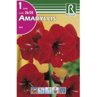 Bulbo de Amaryllis color Rojo