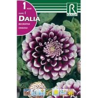 Bulbo de Dalia Cactus en Color Violeta
