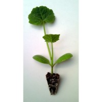 Plantel de Calabacín