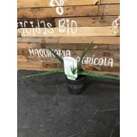 Aloe Vera Mix en maceta de 8 centímetros