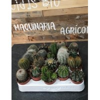 Bandeja de Cactus variados de maceta de 5.5 cms