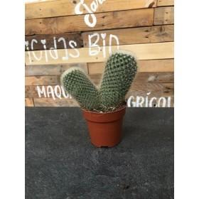 Cactus Variado en maceta de 8.5 cms