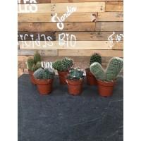 Conjunto 6 ud. Cactus maceta de 8.5 cms.