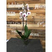 Orquídea de 2 varas