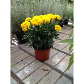 Planta Tagete
