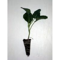 Plantel de Brócoli