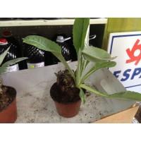 Planta de Alcachofa