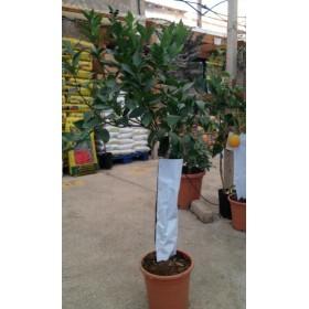Naranjo en Maceta de 25 cms