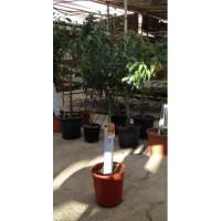 Mandarino en Maceta de 25 cms (Clemenules)