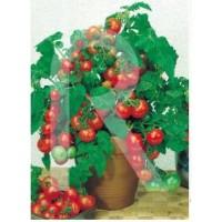 Semilla de Tomate Cherry