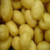 Simiente de Patata Spunta